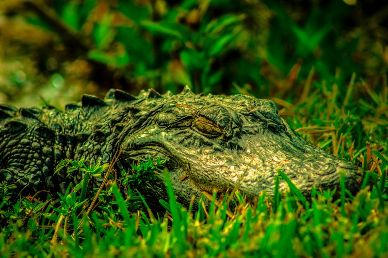 Closeup of an Alligator in the Florida Everglades