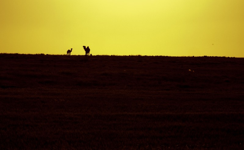 A mother and baby camel atop a hill in silhouette