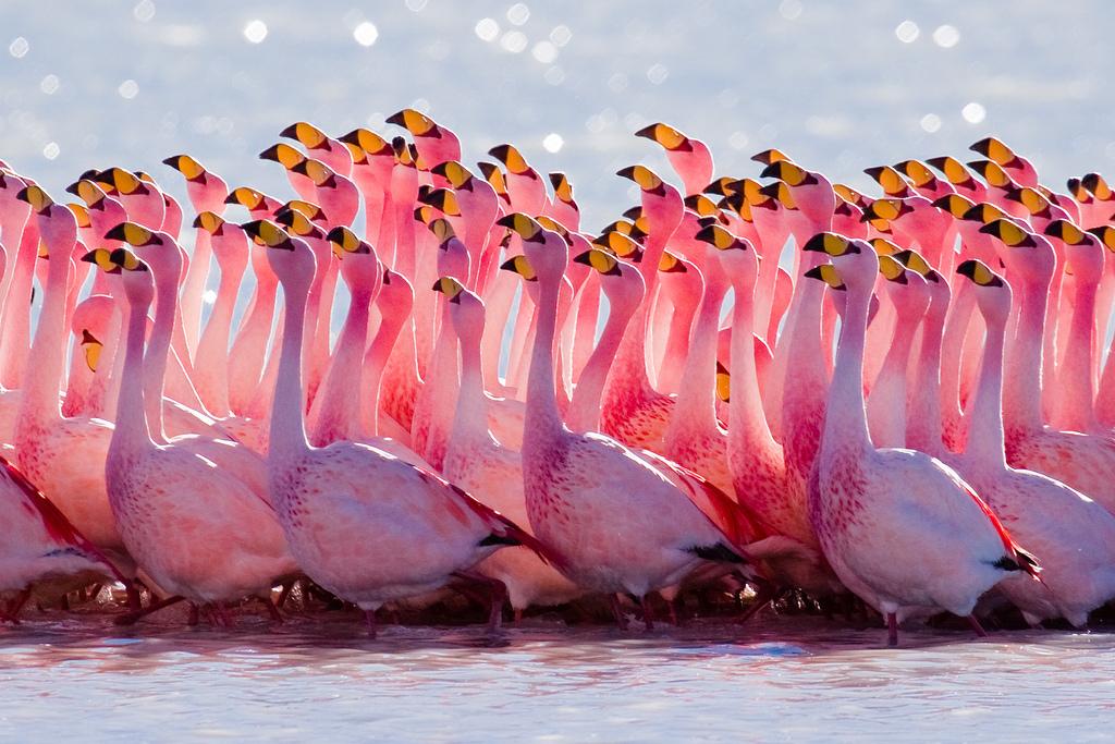 Flock of flamingos in Bolivia