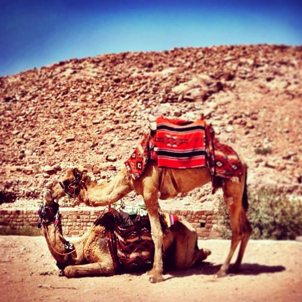 Camel Love, Petra, Jordan