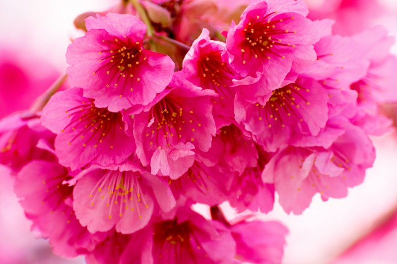 Cherry Blossom (Sakura) in Tokyo, Japan