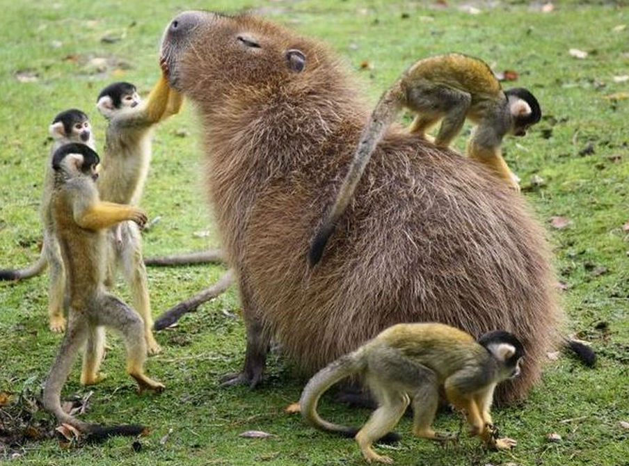 Capybaras and Monkey at Pampas Grass