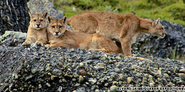 Pumas in Chile
