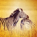 Instagram of the Moment: Just a Little Zebra Love, South Africa