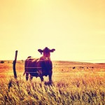 Instagram of the Moment: How Now, Brown Cow?, Kansas