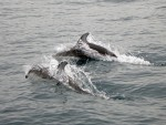 Huge Pod of Dolphins Swim with Ferry