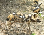 On the Hunt for South Africa's Most Endangered Carnivore: The African Wild Dogs of Mkhuze