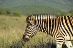 Escaped Zebra At Large in Tennessee