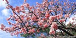 Last chance to be first to enjoy Japan's 2014 cherry blossom season