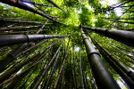 Photo of the Moment: Under the Bamboo Canopy, Chattanooga