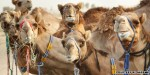 Could your next burger be camel meat?