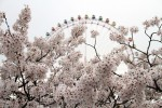 Photo of the Moment: Awash in Cherry Blossoms, Japan
