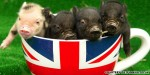 Yes, now there's a micro pig cafe