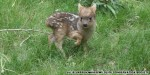 World's tiniest deer gives birth