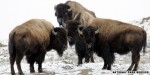 Bison attack two more Yellowstone visitors