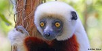 Back from the brink: Lemurs of Madagascar