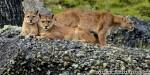 Secret game: Tracking pumas in Patagonia